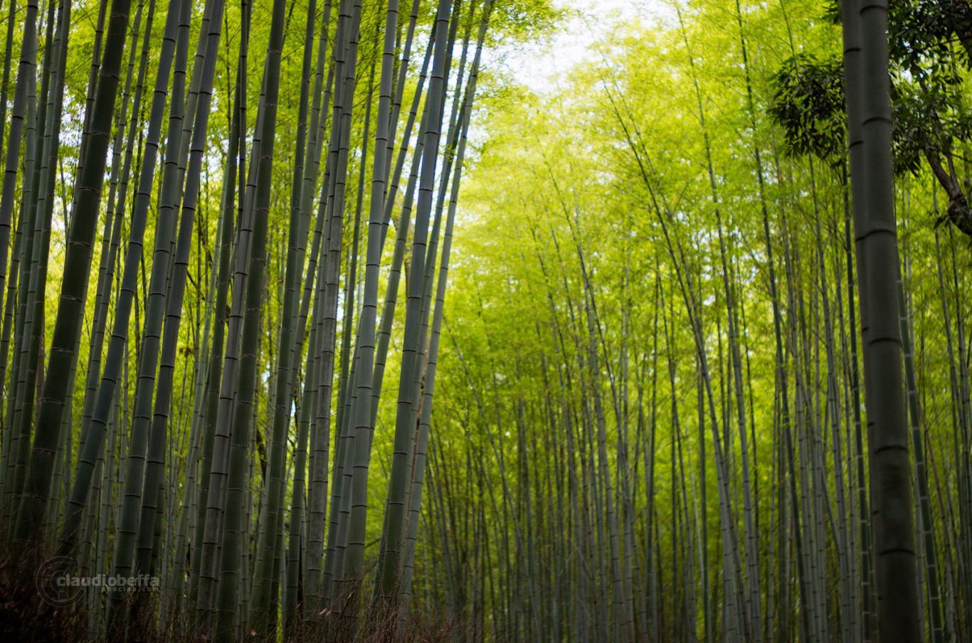 Sagano bamboo