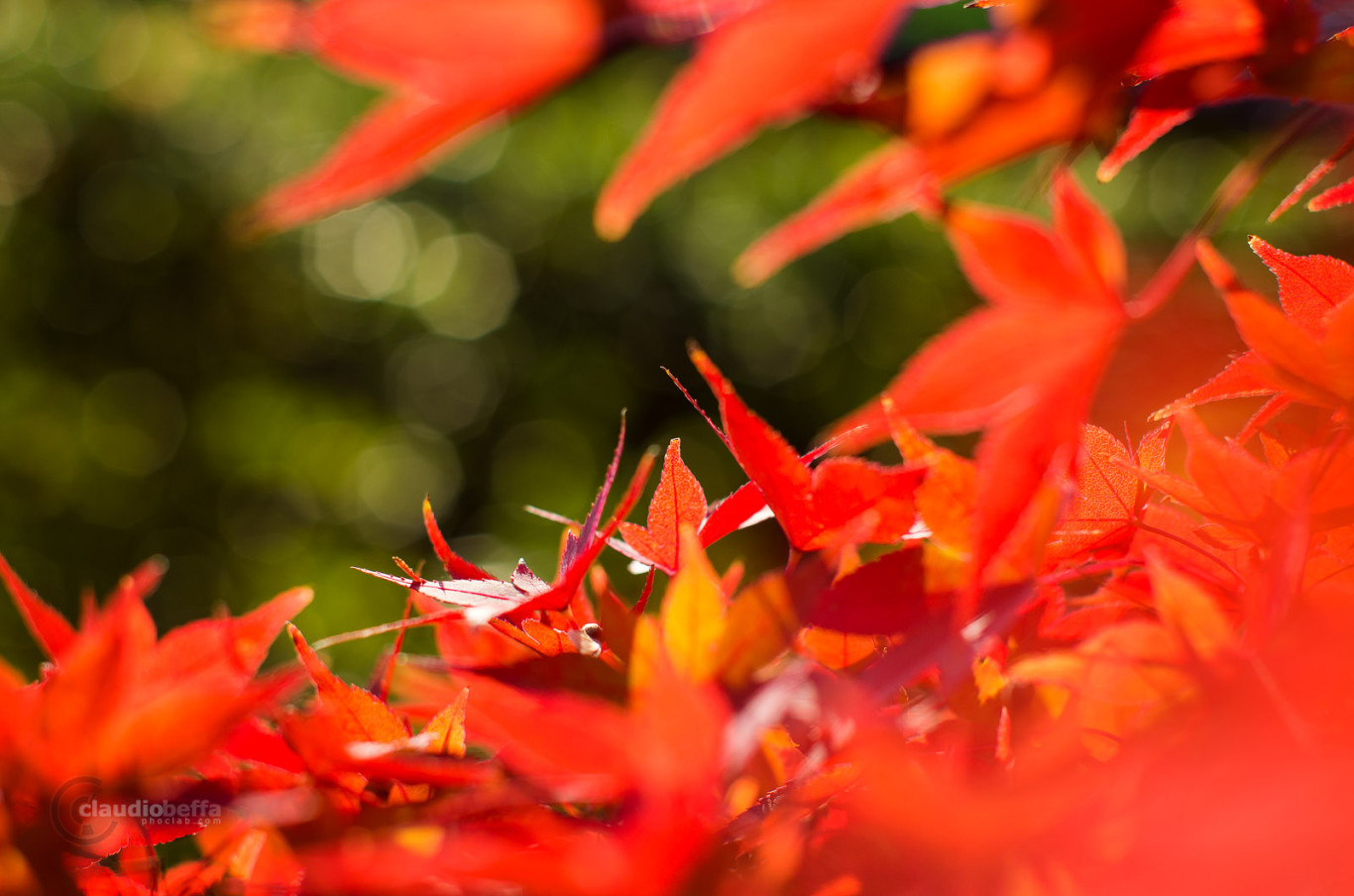 Autumn Red Momiji Green Japan