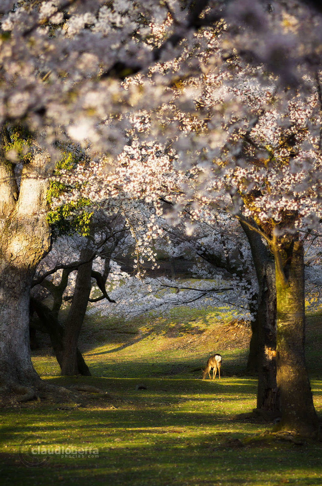 Japan, Spring, Magic, Forest, Cherry, Sakura, Blossom, Tree, Light, Deer, Nature, Spring, Pentax
