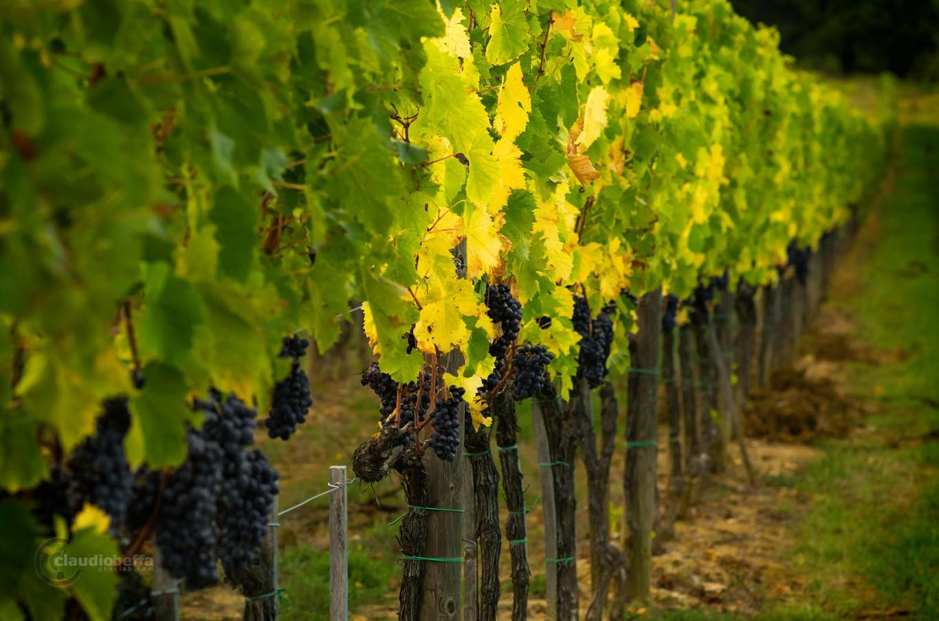 Vines, Vineyard, Grapes, Sangiovese, Tuscany, Toscana, Val d'Orcia, Green, Light, Italy, Italia