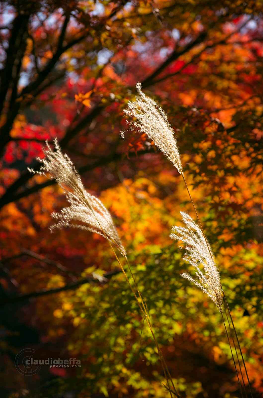 Kii peninsula, Kumano, Japan, Autumn, Susuki, Momiji, Golden, Red, Nature, Light