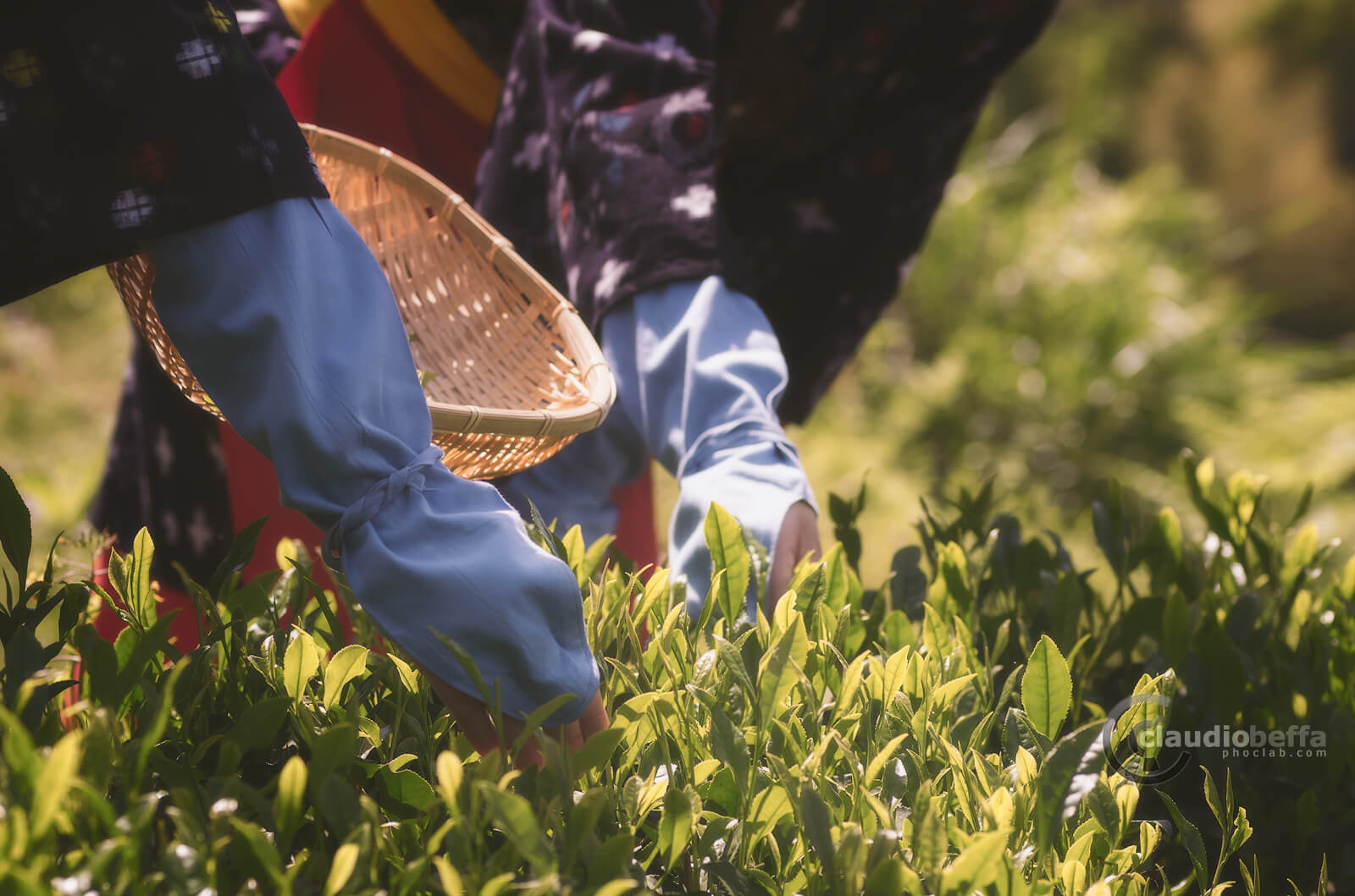 Japanese traditional method of picking tea leaves, Japan, Tradition, Travel.