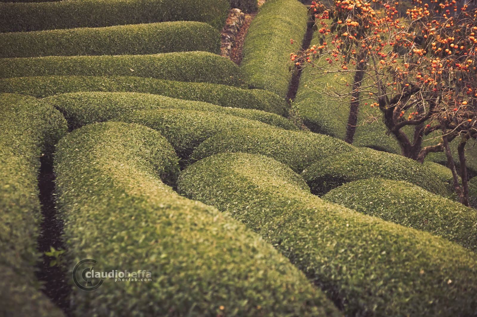 Rows of Camellia Sinensis and Persimmon tree, Wazuka, Japan, Tradition, Travel.